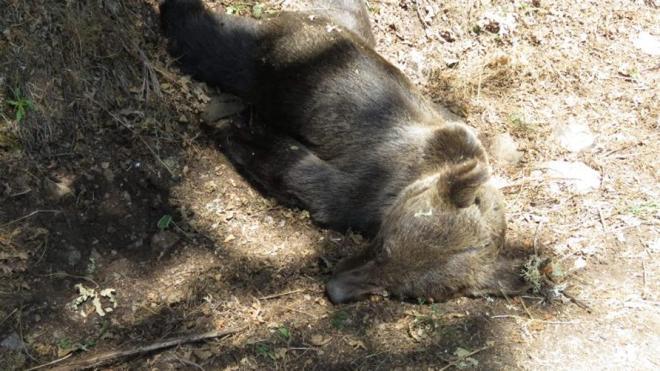 Hallados muertos dos osos adultos en Asturias